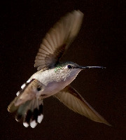 Annas Hummingbird in flight