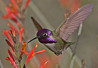 costas hummingbird number 2