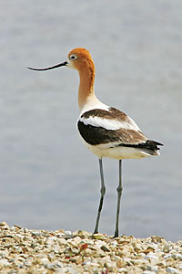 Avocet number 1