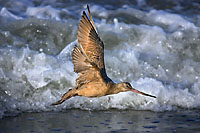 Marbled Godwit in Surf