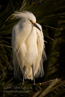 Snowy Egret at Sunrise