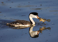 Clarks Grebe with Fish