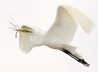 Egret with Nesting Material