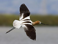 Flying Avocet